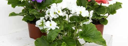 Цветы в доме и приметы_ герань и фиалка