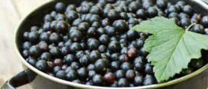 Полезные свойства черной смородины_ягоды в тазике