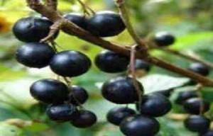 Полезные свойства черной смородины_ягоды на ветке
