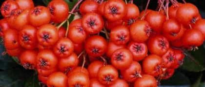Польза красной рябины_ягоды