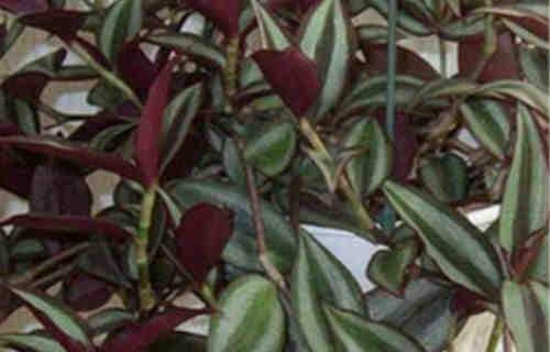 Растение традесканция_выращивание