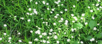 Лечебная трава мокрица_применение