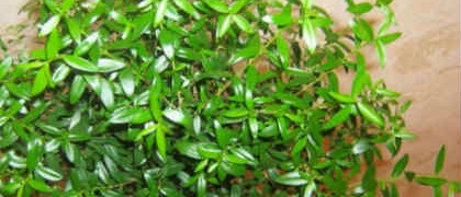 Комнатное растение мирт_рецепты