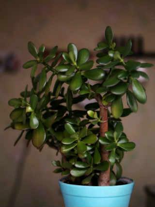 Толстянка (денежное дерево)_лечебные свойства