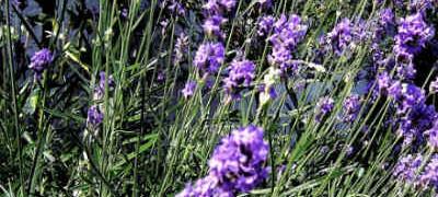 Применение масла лаванды_ поле с цветущей лавандой