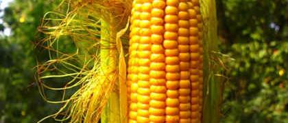 Полезные свойства кукурузных рылец_ рецепты