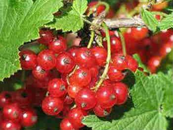Полезные свойства красной смородины_ягоды