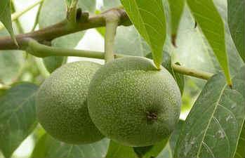 Полезные свойства грецкого ореха_зеленые орехи
