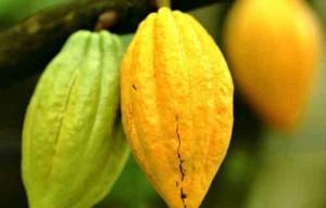 Масло какао в косметологии_ плоды