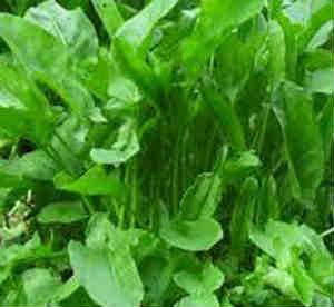 Весенние травы_ранний щавкль