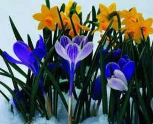 Весенний первоцвет примула