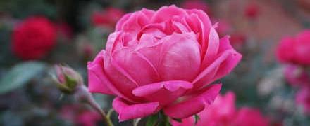 Варенье из лепестков роз_ роза растущая
